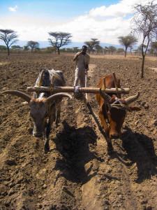 Ethiopian farmer plowing field with oxen © 2009 David Spielman/IFPRI