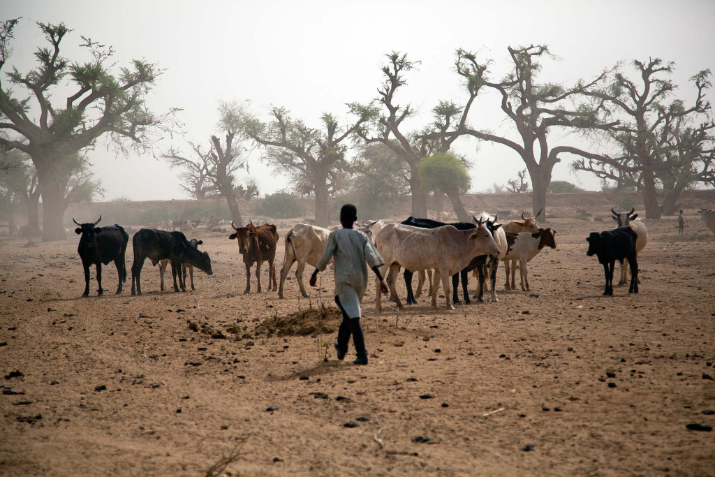 A study looks at a warming climate correlates with increasing conflicts in Sudan and South Sudan. In the photo: a boy watching cattle. Photo:  UNAMID